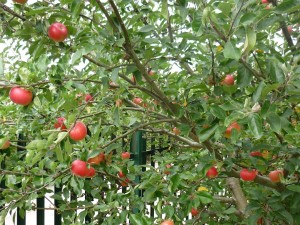 red apples small